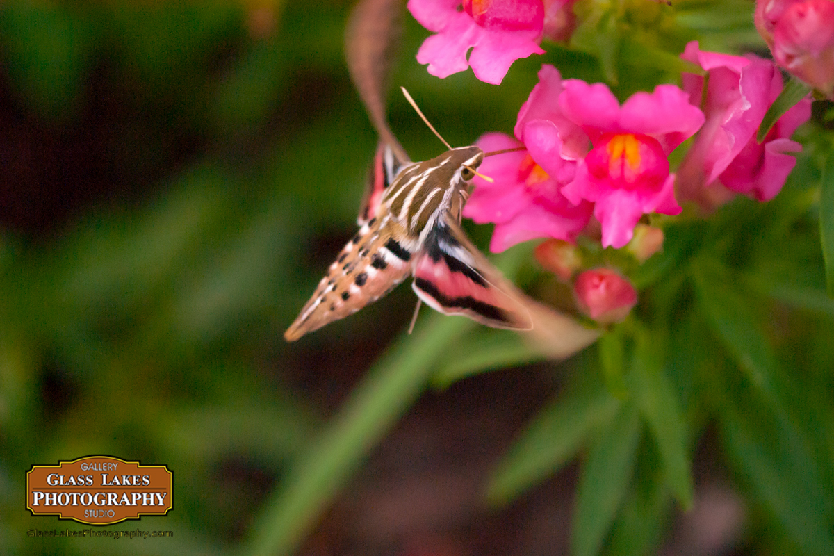 Hummingbird Moth, Photo of the week 4/1/2016