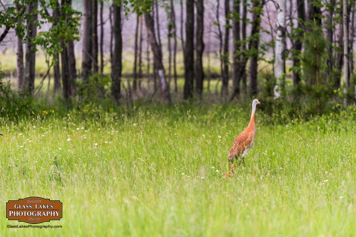 Roadside Wildlife (Sandhill Cranes)